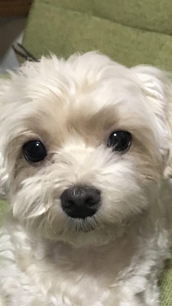 我が家のマルプー犬の涙目には〇〇